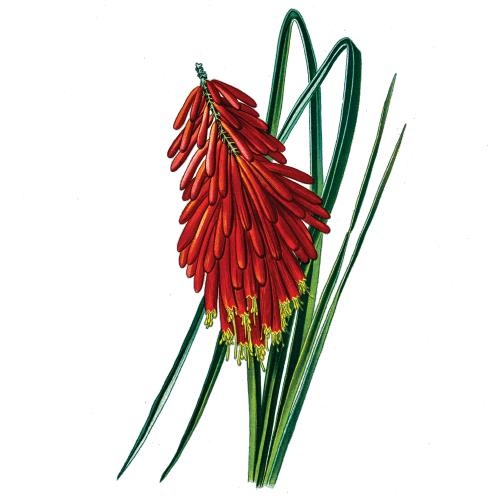 kniphofia icon