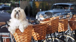 A dog in the basket of a Gonville Hotel bike